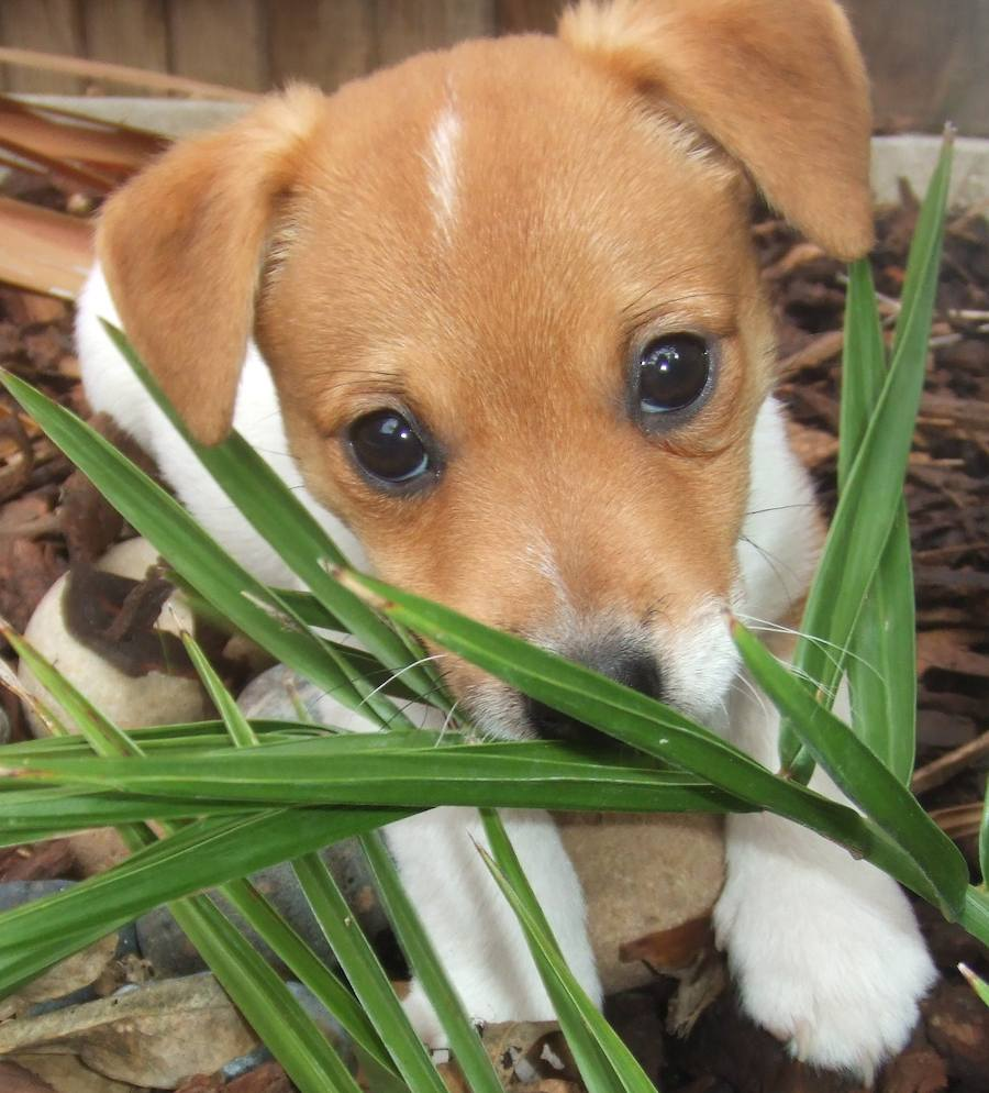 Alfie the Jack Russell Terrier Pictures 8517