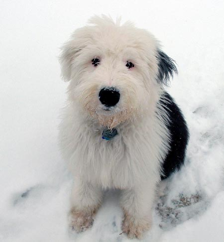 Alistaire the Old English Sheepdog Pictures 470