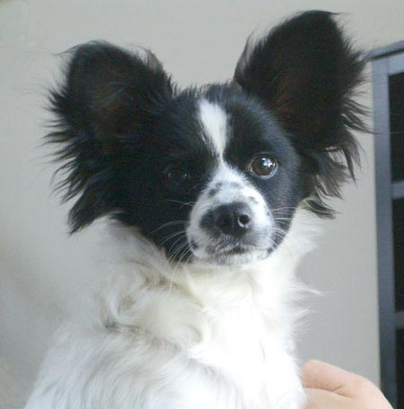 Amelie the Papillon Pictures 533