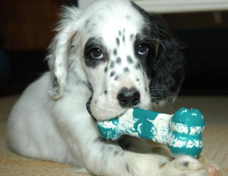 Amos the English Setter Pictures 3427