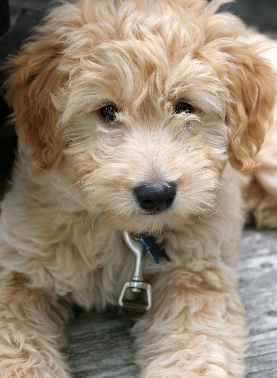 Atlas the Goldendoodle Pictures 7956