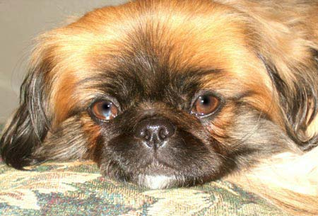 Baby the Pekingese Pictures 1823