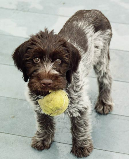 Bacchus the Wirehaired Pointing Griffon Pictures 1511