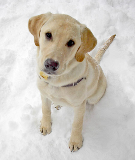 Baci the Golden Labrador Pictures 527