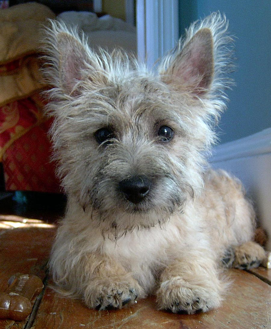 Bailey the Cairn Terrier Pictures 4017