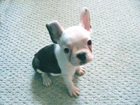 Balboa the French Bulldog Pictures 767