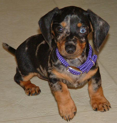 Bandit the Mini Dachshund Pictures 1840