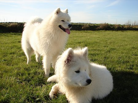 Bán and Ludo the Samoyeds Pictures 6204