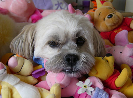 Barney the Lhasa Apso Pictures 4676