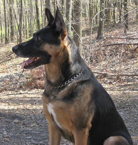 Bear the German Shepherd Mix Pictures 6401