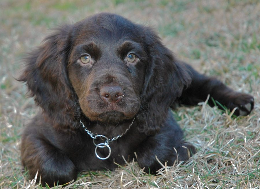 Beau the Boykin Spaniel Pictures 6211