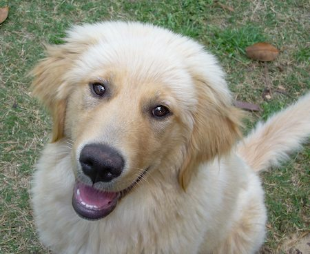 Bella the Golden Retriever Pictures 8437