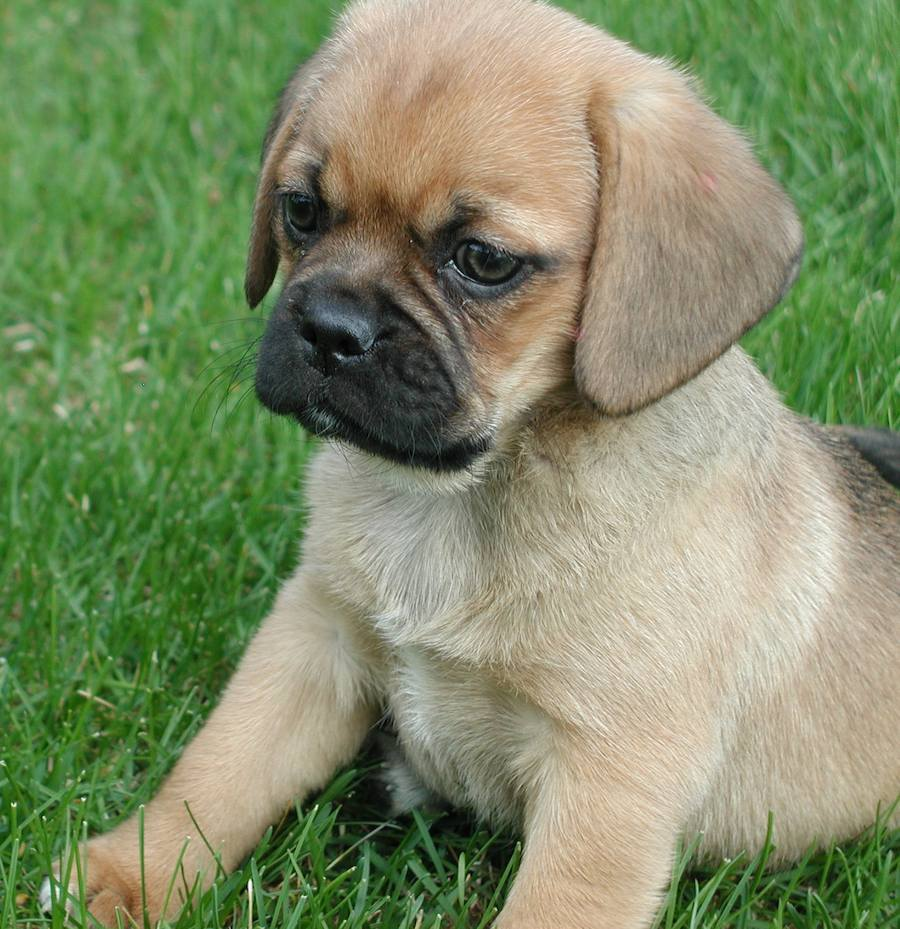 Bella the Puggle Pictures 7147
