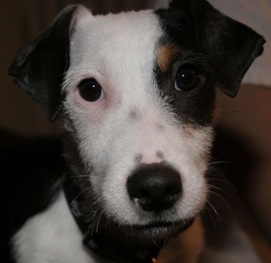 Bender the Jack Russell Terrier Pictures 4053
