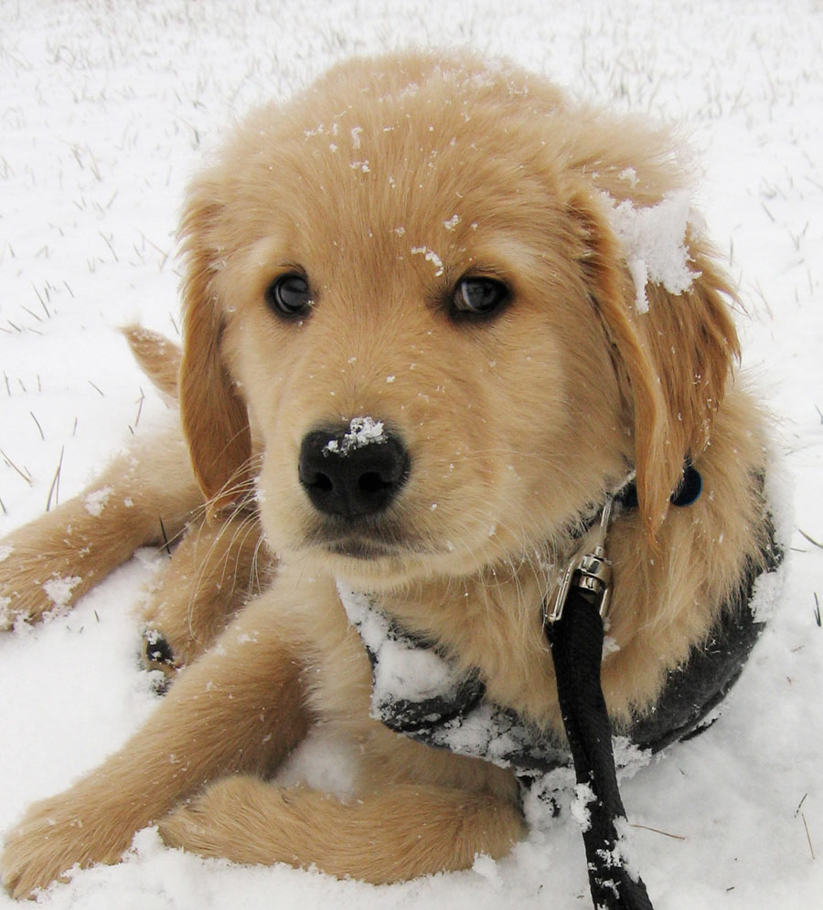 Benjamin the Golden Retriever Pictures 5078