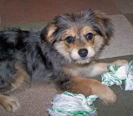Benny the Pomeranian/Yorkie Mix Pictures 650