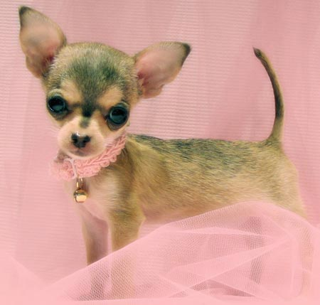 Bitsy the Chihuahua Pictures 2020