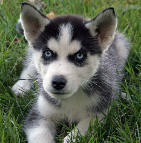 Blade the Siberian Husky Pictures 10139