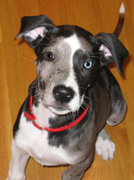 Bob the Great Dane Pictures 2496