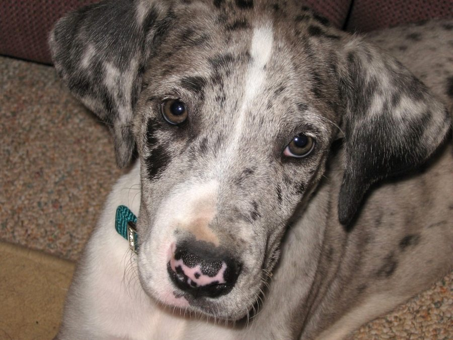 Boo the Great Dane Pictures 6112
