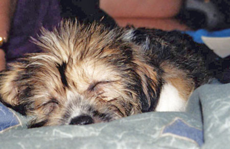 Boo Boo the Corgi/Shih Tzu Mix Pictures 542