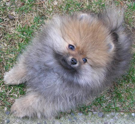 Boomer the Pomeranian Pictures 3142