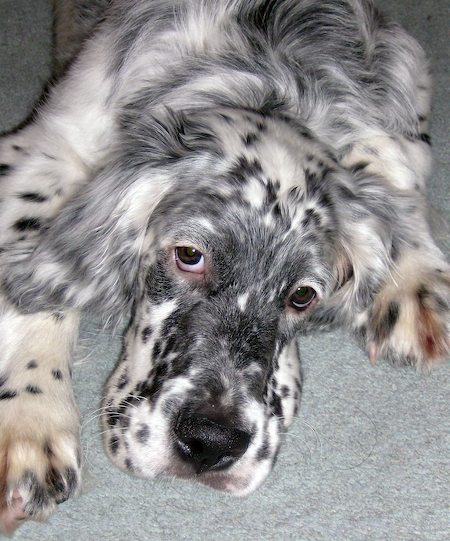 Boris the Blue English Setter Pictures 8080