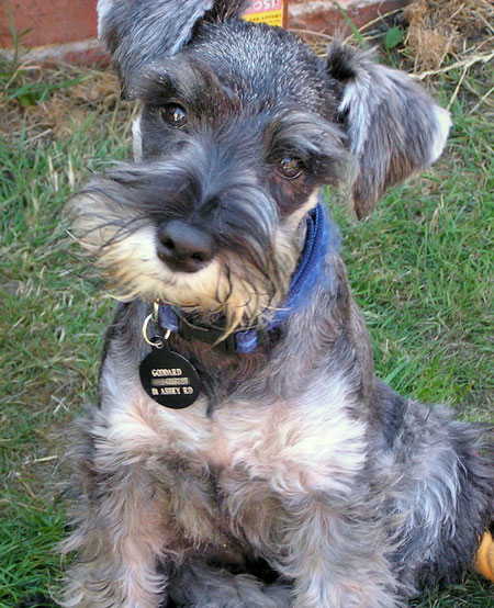 Boris the Miniature Schnauzer Pictures 10719