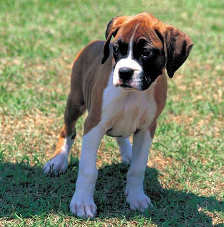 Boxer Puppy Pictures 56