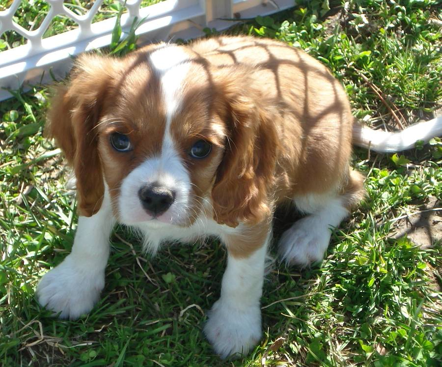 Brady the Cavalier King Charles Spaniel Pictures 7046