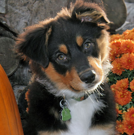 Brubeck the Australian Shepherd Pictures 10308