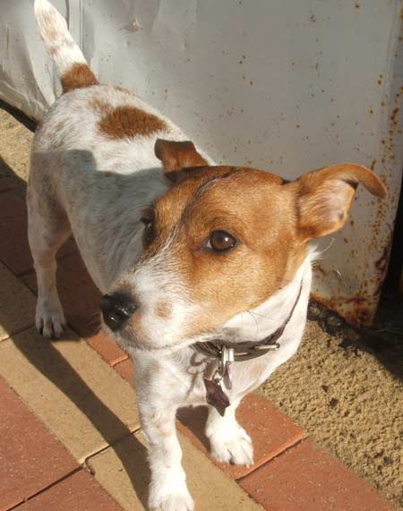 Bumble the Jack Russell Pictures 1343
