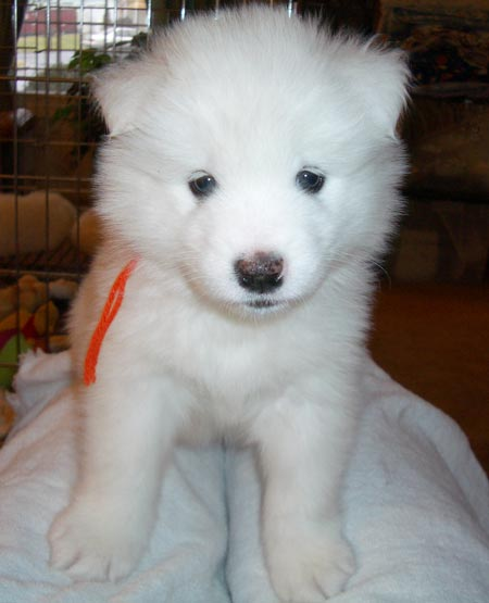Carrot the Samoyed Pictures 1015