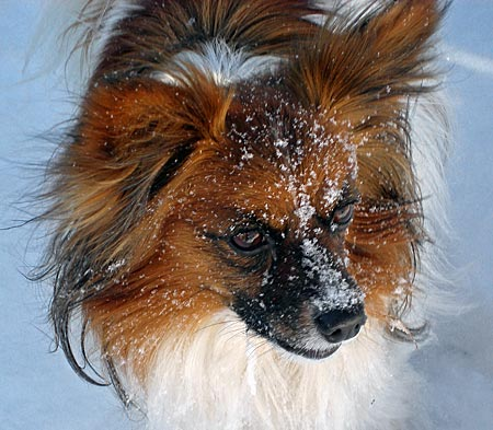 Cashew the Papillon Pictures 5544