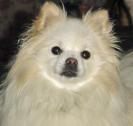 Casper the Pomeranian/Jack Russell Mix Pictures 1298