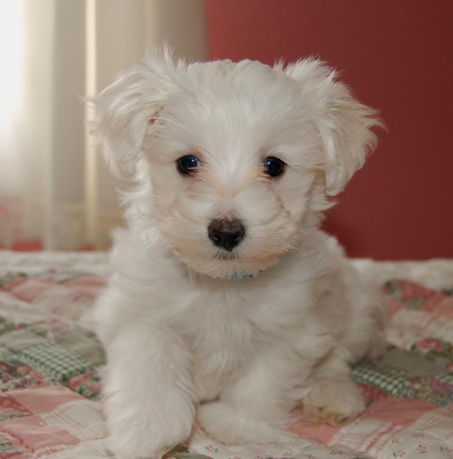 Caspian the Maltese/Toy Poodle Pictures 3908