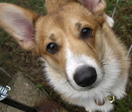 Chai the Corgi Pictures 2565