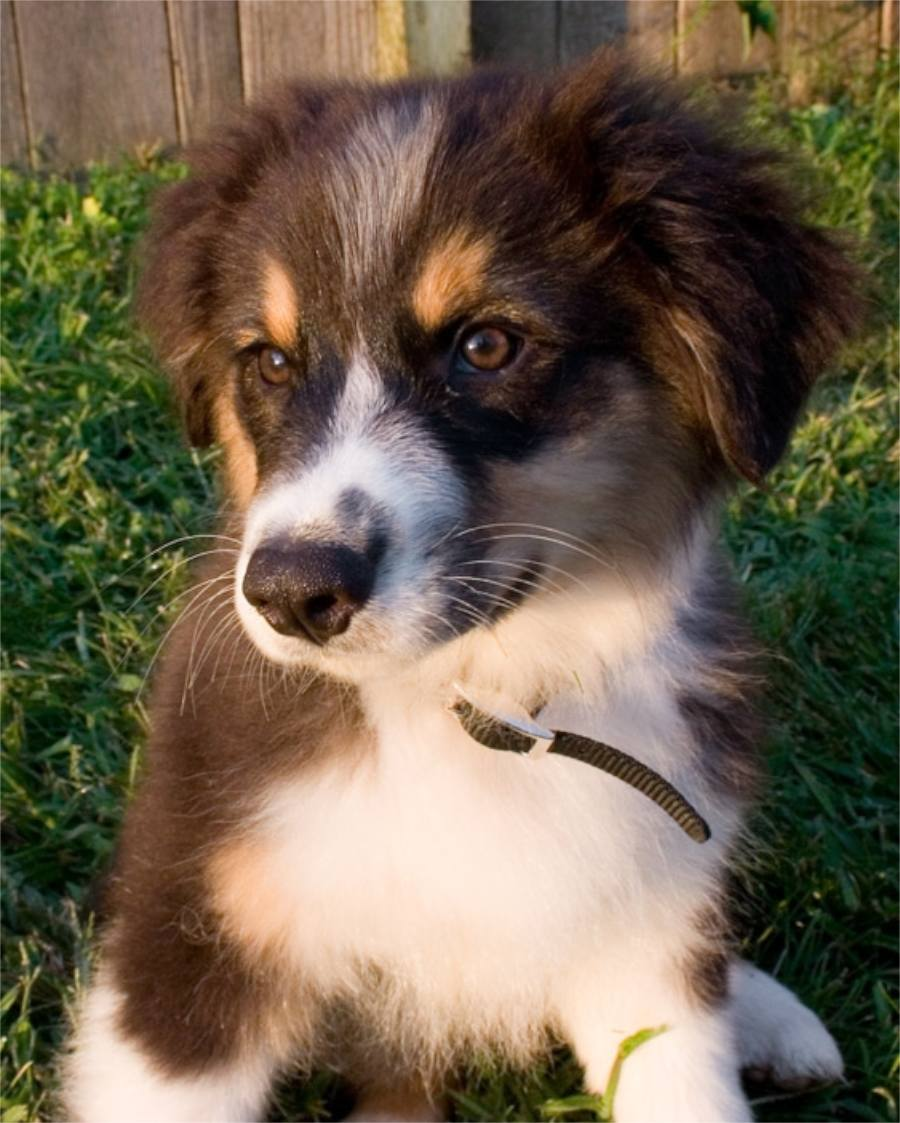 Charley the Australian Shepherd Pictures 8365