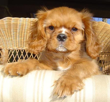 Charlie the Cavalier King Charles Spaniel Pictures 1046