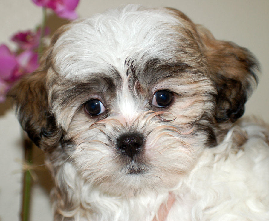 Charlie the Maltese/Shih Tzu Pictures 4824