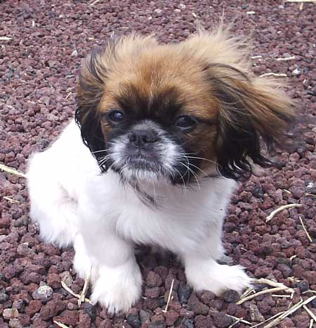 Cheburashka the Pekingese Pictures 1322