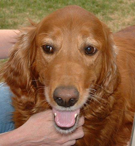 Chelsea the Irish Setter/Golden Retriever Pictures 3873