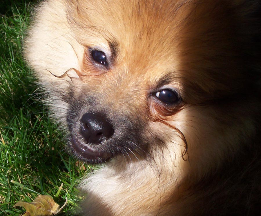 Chester the Pomeranian Pictures 3591