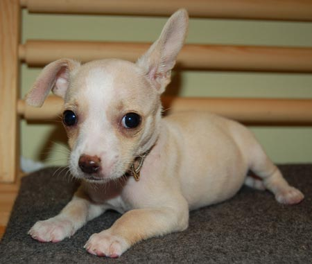 Chihuahua Puppy Pictures 3774
