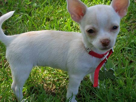Chloe the Chihuahua Pictures 999