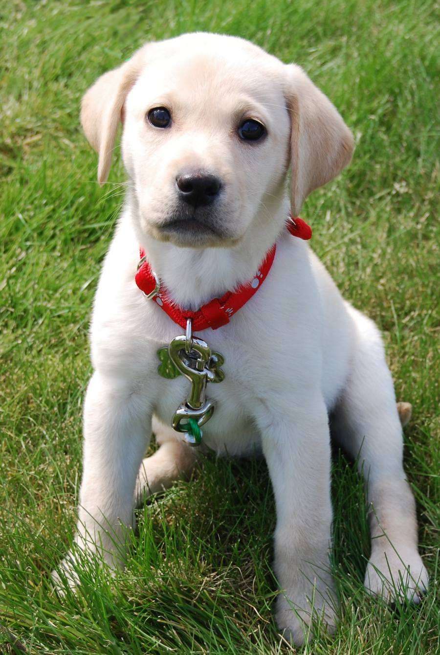 Chloe the Yellow Labrador Pictures 6772