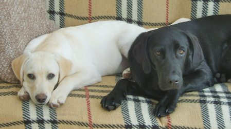 Clifford and Elvis the Labradors Pictures 8672