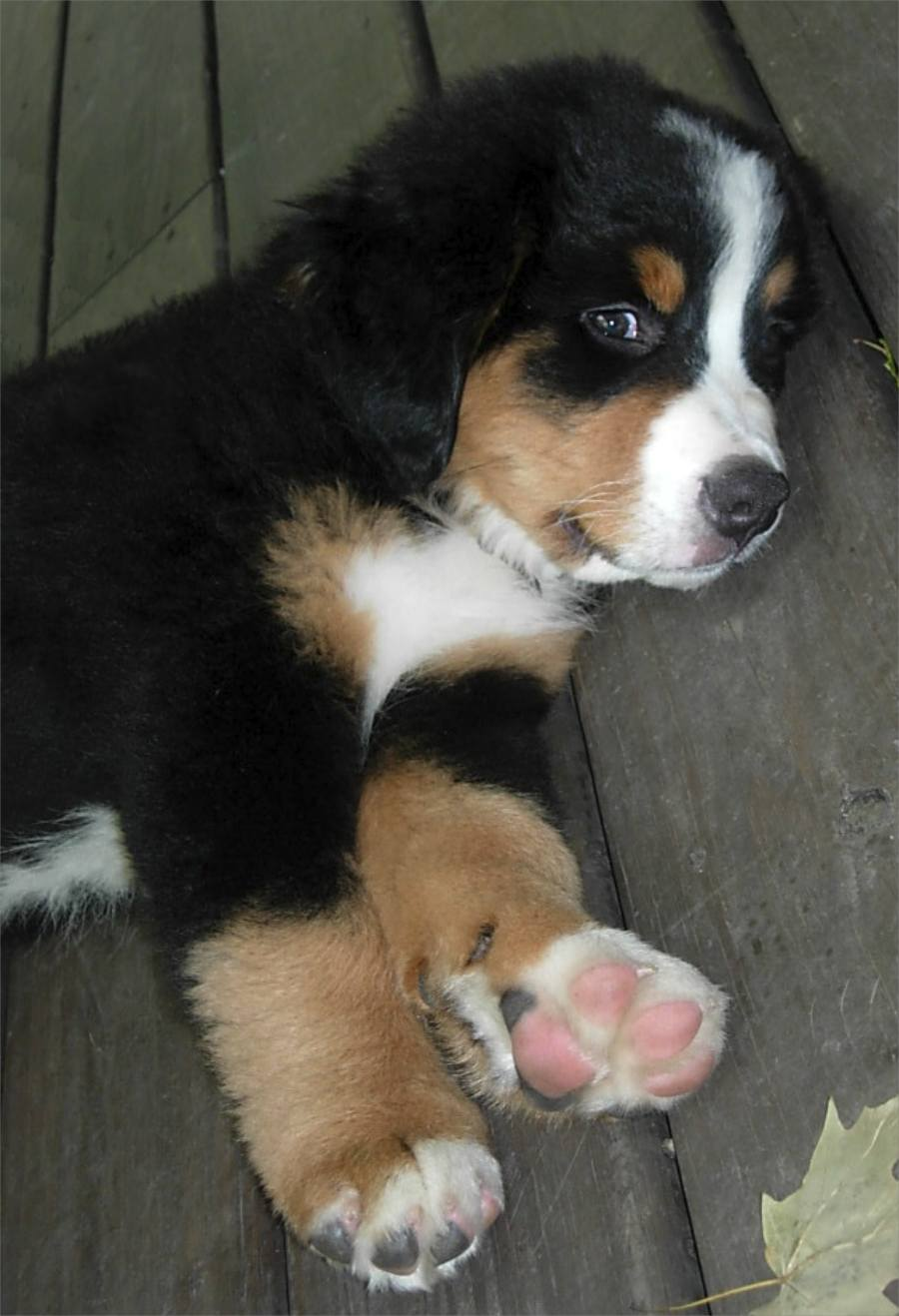 Clyde the Bernese Mountain Dog Pictures 8312