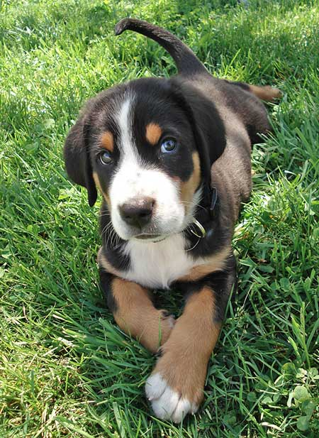 Coda the Greater Swiss Mountain Dog Pictures 914