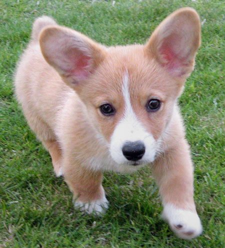 Copper the Corgi Pictures 10489